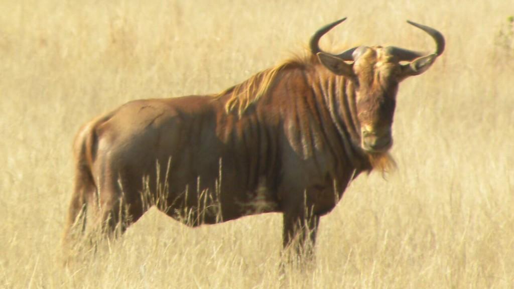 golden-wildebees1