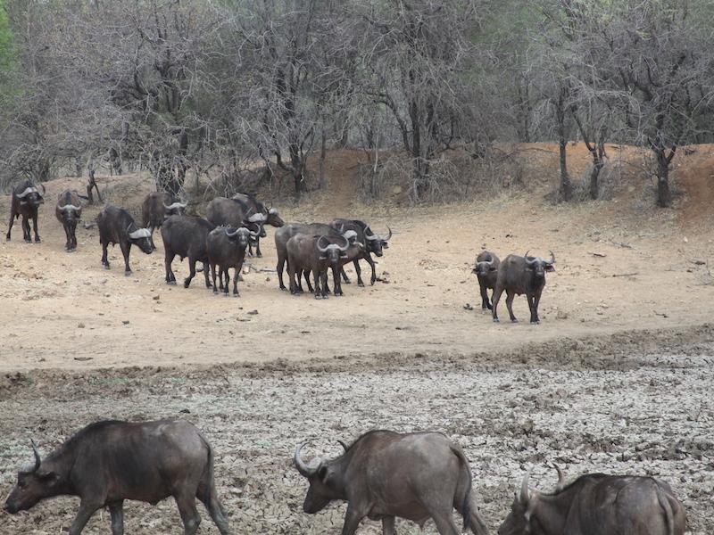 waterhole-buffalo