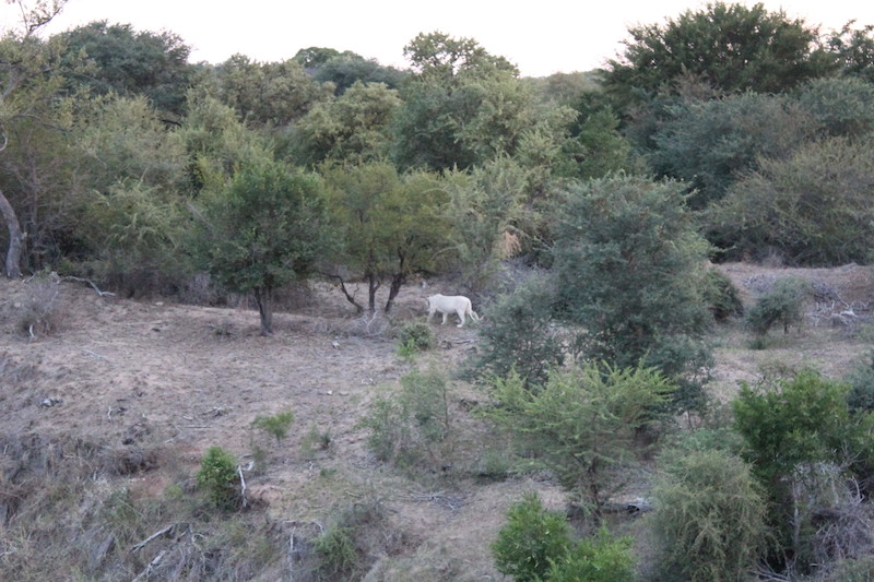 white-lion-Bushbuck-Lodge